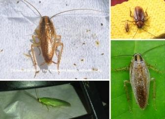 Cockroach Varieties